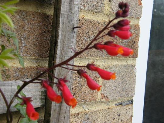 A garden flower photo (Eccremocarpus scaber (Chilean glory flower))