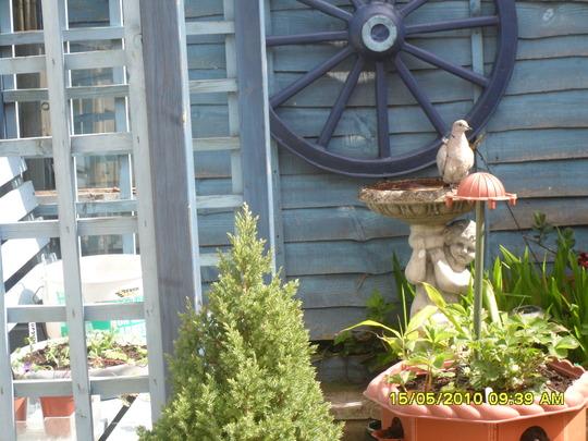 collared dove on birdbath