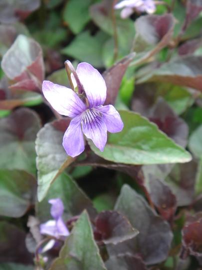 Violet - May 2010