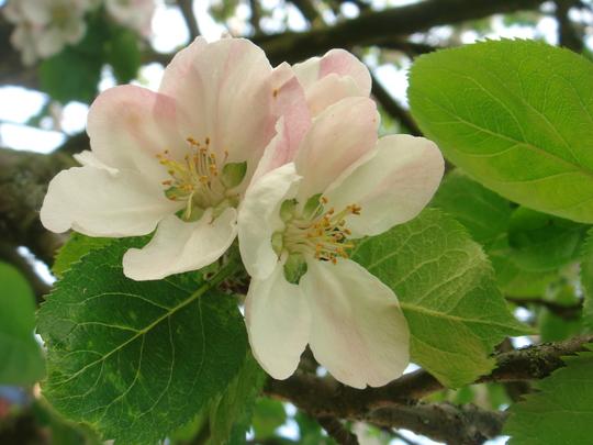 Apple blossom - May 2010