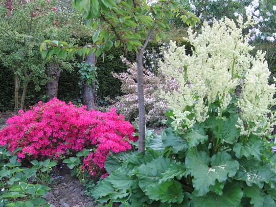 azalea and rhubarb in bloom