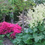 azalea and rhubarb in bloom