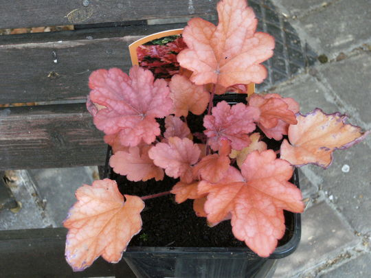 Heuchera  '  Peach Flambe '