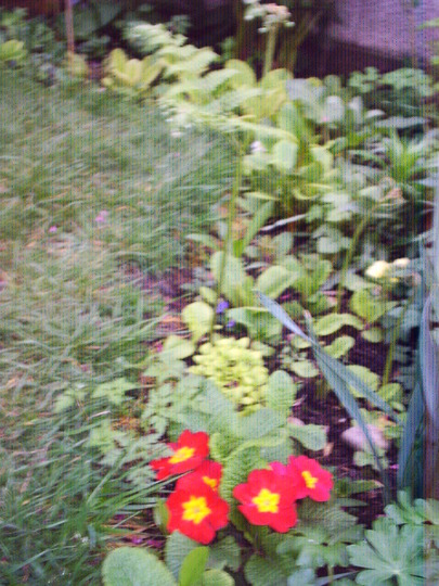 primroses_still_in_flower_5th_may.jpg