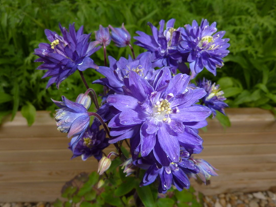 Aquilegia: Clementine Blue in abundance:0)