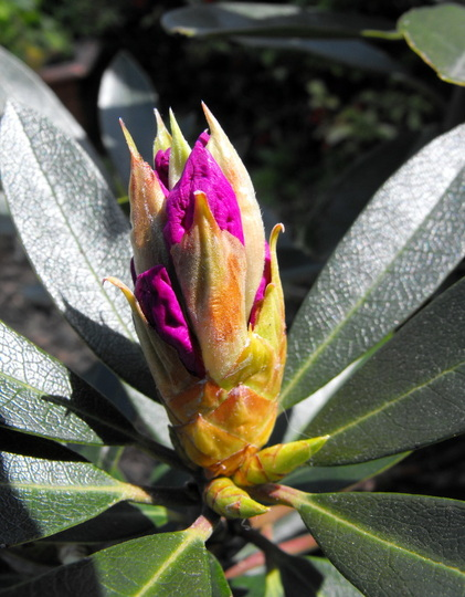 My Home Grown Rododendrons 1st Flower Is Opening