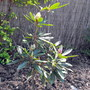 My Rododendron 17/05/10 :)