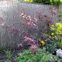 Ornamental Plum Tree Leafing Up