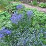 common bluebell, hellebore, forget-me-not, lady's mantle (Hyacinthoides non-scripta Helleborus Myosotis alchemilla mollis)