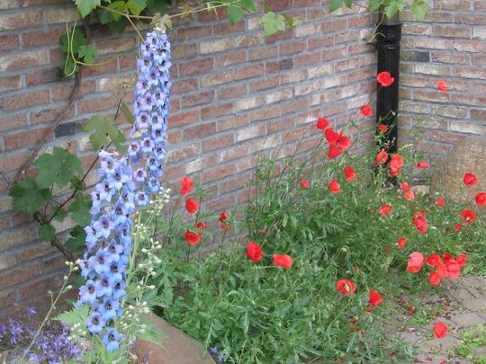 larkspur and poppies (Delphinium consolida)