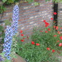 larkspur and poppies (Delphinium consolida)