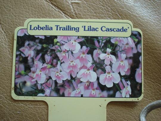 Lobelia 'Lilac Cascade'