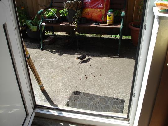 My friendly blackbird