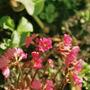 Primula pink florindae type (Primula pink florindae)