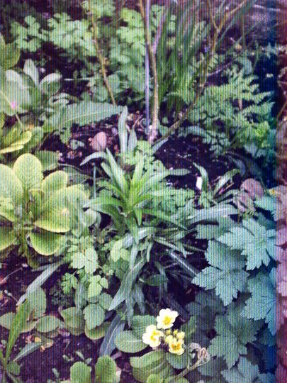 rose_bed_under_layed_with__aquilegia_primrose__geranium_lilies.jpg