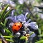 A Ladybird Enjoying The Rosemary