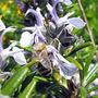 A Bee Enjoying The Rosemary:)