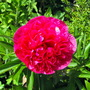 My Red Peony Flower Has Opened today :)
