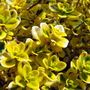 Varigated Lemon Thyme