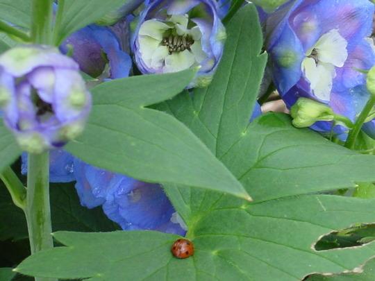 Delphinium (Aurora Blue)