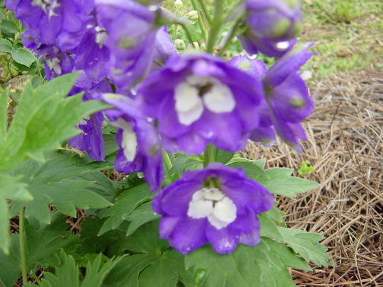 Delphinium (Aurora Purple)