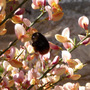 Red tailed bumble bee.