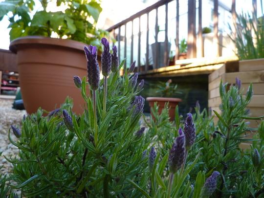 French Lavender......