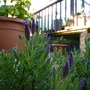 French Lavender......