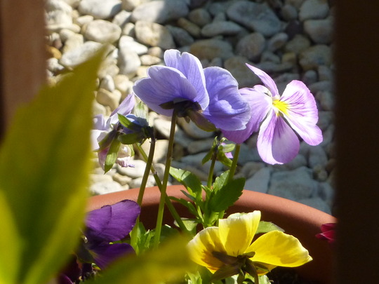 Pansies through the decking....