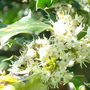 Holly tree flowers (Male)