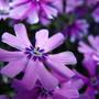 Phlox Flower Closer