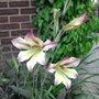 Gladiolus tristis - 2010 (Gladiolus tristis)