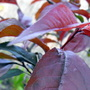 Ornamental Plum Tree Leaves