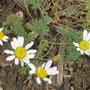 """Anacyclus depressus """"Ringblume"""" (Anacyclus depressus)"""