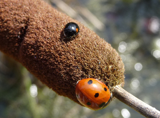 7 spot and 2 spot ladybirds on bullrush.