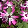 magenta (sunsenereba pericillis hybrids)