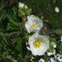 Potentilla recta 'Alba' flowers. (Potentilla recta 'Alba')