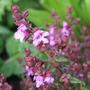 Prostanthera 'Mint Royale' (Prostanthera denticulata)