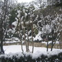 Plum tree under the snow (PRUNUS CERRULATA)