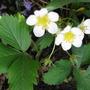Wild strawberries (Fragaria vesca (Alpine Strawberry))