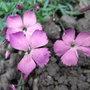Dianthus gratianopolitanus - 2010 (Dianthus gratianopolitanus)