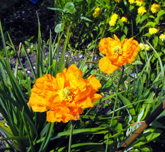 1st Double  Welsh Poppies Opened This Morning (Meconopsis cambrica (Double Welsh Poppy))