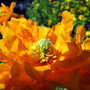 Double Welsh Poppies Closer (Meconopsis cambrica (Double Welsh Poppy))
