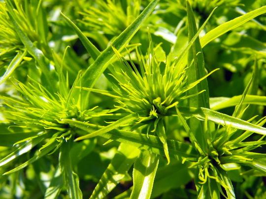 Sweet William Flower Buds