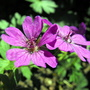 "Cranesbill ""Bill Wallis"" Closer 4 Spritz :)"