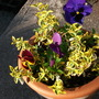 Euonymus and Pansies