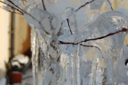 Acer in Ice