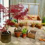 Acer & plant pots (Acer palmatum 'Atropurpureum')