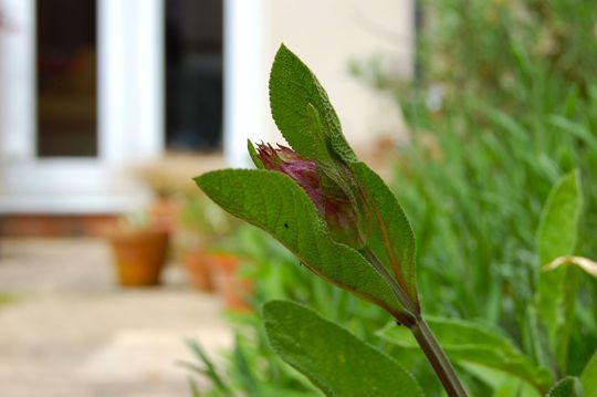 Sage about to flower