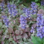 Ajuga reptans &#x27;Burgundy Glow&#x27; (Ajuga reptans &#x27;Burgundy Glow&#x27;)